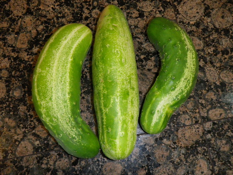 Garden Cucumbers Become Cucumber Bites
