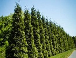 Innovative Ways to Use Privacy Trees in Your Garden